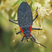 Red-shouldered Bug - Photo (c) Jerry Oldenettel, some rights reserved (CC BY-NC-SA)