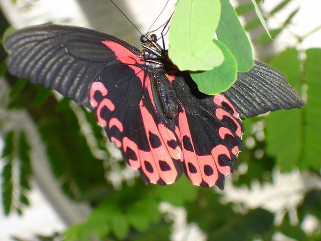 papillon rouge flickr photo sharing. Black Bedroom Furniture Sets. Home Design Ideas