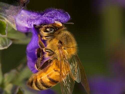 macro bee ringflash blueribbonwinner roundrocktexas canonef100mmf28usmmacro canoneos30d abigfave excapturemacro motleypixel spectacularmacro royniswanger