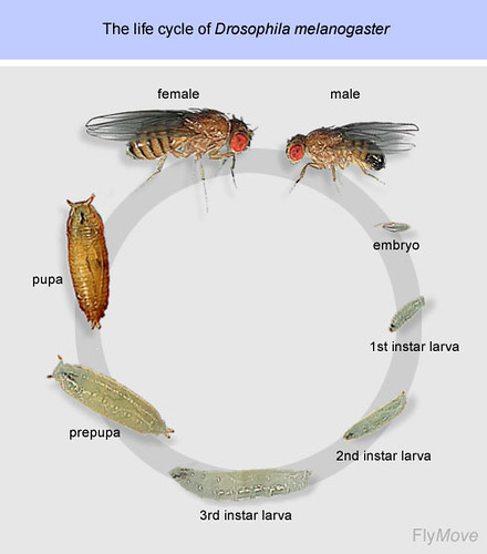 03 Drosophila melanogaster Life Cycle | Flickr - Photo ...