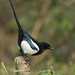 Magpie by TheApertureMan