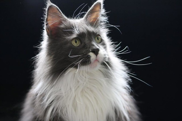 Ken and Helmi Flick's Maine Coon Cat - ZAK