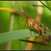 Scorpionfly by Hamilton Images