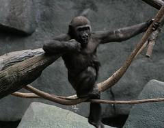chimpanzee, monkey, great ape, gorilla, fauna, ape,