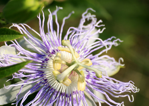 Purple passionflower, Passiflora incarnata