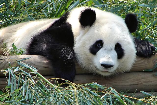 panda gaze