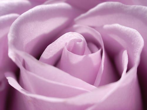 Purple rose - 無料写真検索fotoq