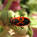 Fire Bug in red and black suit (Pyrrhocoridae)