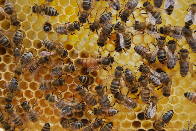queen bee laying eggs - photo #13