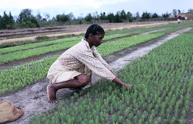 Woman planting crops, Madagascar