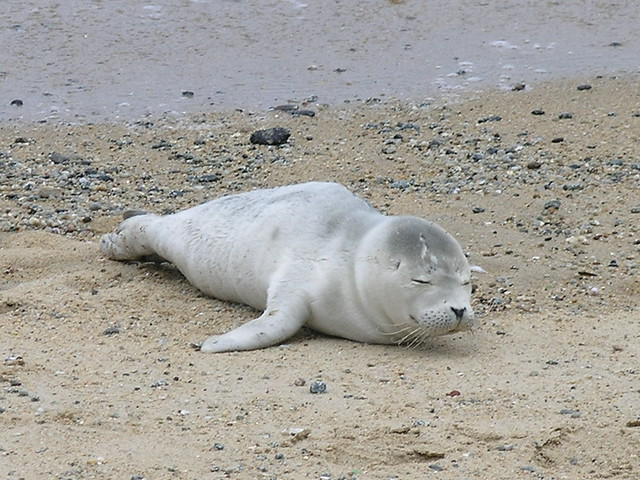 Baby harbor seal | Flickr - Photo Sharing!