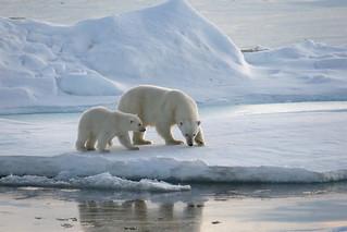 IJsberen op Spitsbergen, augustus 2008.
