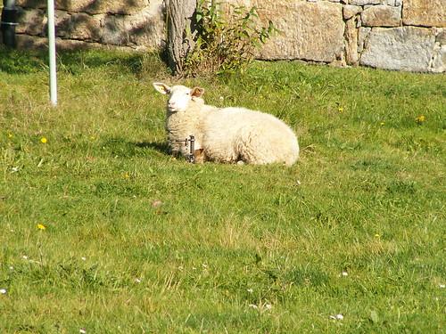 Das Schaf brachte ich wohlbehalten an Land und setzte es in einem Rasenplatz an der Spree auf eine grüne Wiese und konnte mit dem verlorenen Kindergedicht zeigen, dass Onkel Thummer immer dazu bestimmt war, den Tag zu retten 108