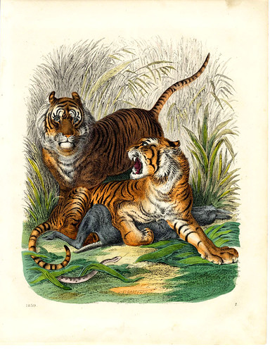 antique tiger print