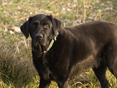 curly coated retriever(0.0), stabyhoun(0.0), chesapeake bay retriever(0.0), dog breed(1.0), labrador retriever(1.0), animal(1.0), dog(1.0), pet(1.0), flat-coated retriever(1.0), carnivoran(1.0),