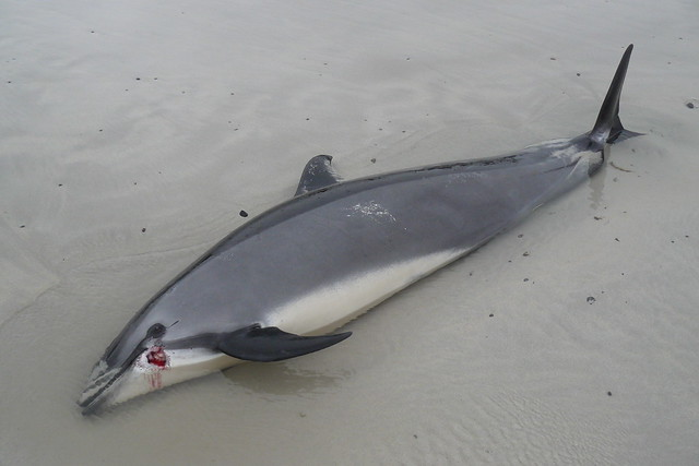 Beached dolphins - photo#3
