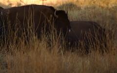 Arizona Bison - Raymond Ranch Wildlife Reserve
