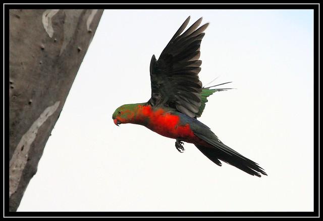 Australian King-Parrot, Mt Ainslie NR, 28.12.08b