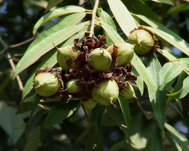 Nagkesar fruit_नागकेसर_Mesua ferrea_Clusiaceae_2011 02 18_Rani Bagh