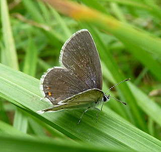 Short-tailed Blue . Everes argiades. female