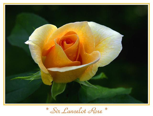 Sir Lancelot Rose
