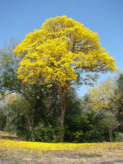 Araguaney floreado sobre una alfombra dorada (Arbol emblemático ...