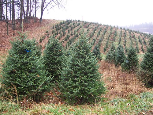 Drought Turns Christmas Tree Farmers Into Grinches