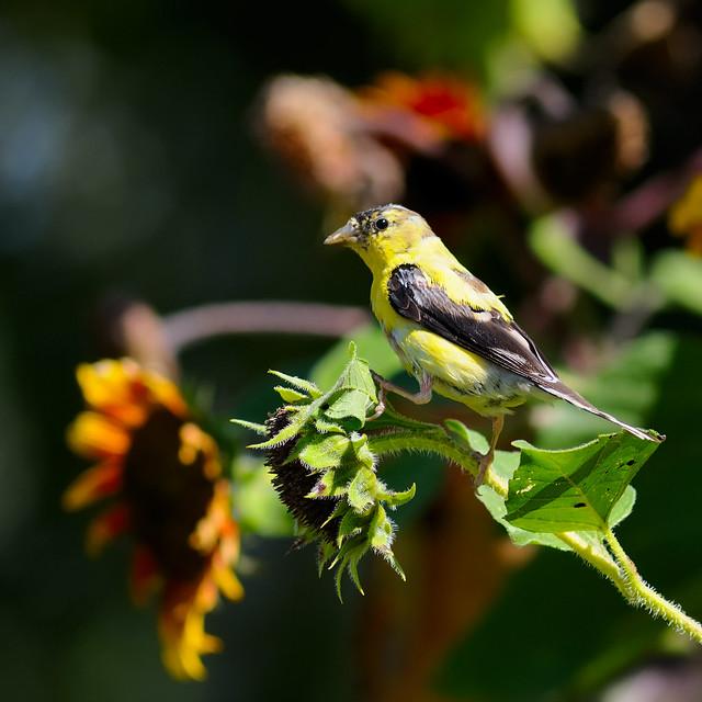 HBW Goldfinch Sunflower Harvest