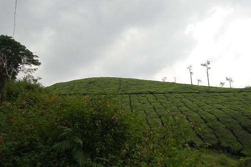 Ein Hügel voll mit Teebüschen.