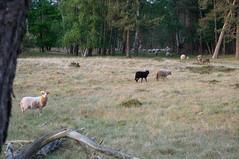 Sheep looking back