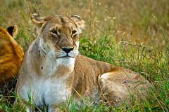 adventure(0.0), masai lion(0.0), animal(1.0), big cats(1.0), lion(1.0), mammal(1.0), fauna(1.0), puma(1.0), grassland(1.0), safari(1.0), wildlife(1.0),