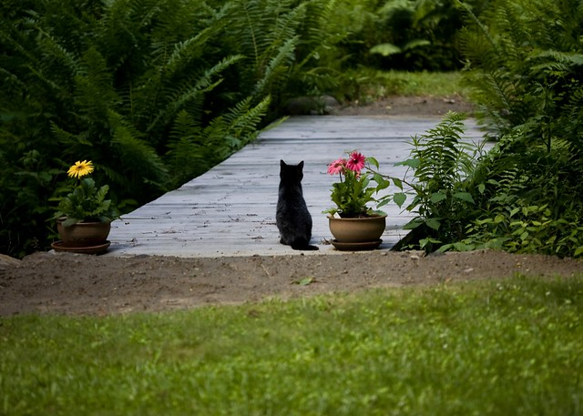 Gerber daisies and cat on bridge