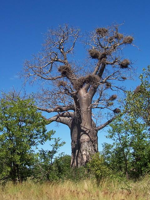 Baobab Flickr Photo Sharing