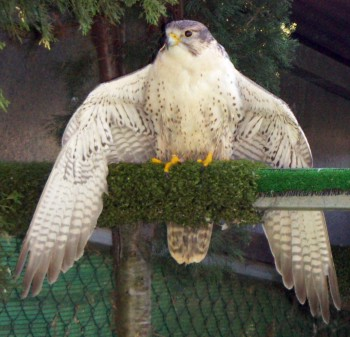 Falco cherrug 2620604126_e95842a580_o