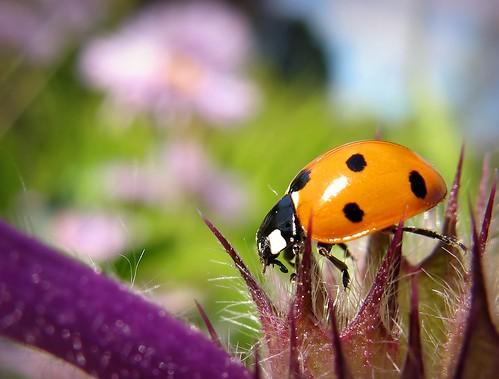 summer orange macro nature canon suomi finland insect bokeh maria images ladybird ladybug sue kesä kerimäki luonto laakso kukka blueribbonwinner hyönteinen leppäkerttu anttola insectphotography easternfinland canonpowershota710is theperfectphotographer marialaakso sue323