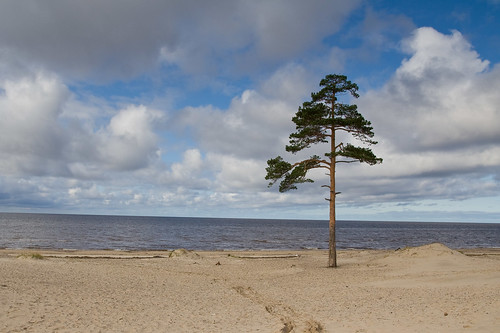 Lonely pine by Mothlike