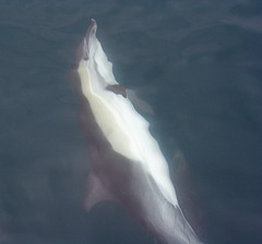 whale(0.0), wing(0.0), rough-toothed dolphin(0.0), beluga whale(0.0), animal(1.0), marine mammal(1.0), common bottlenose dolphin(1.0), short-beaked common dolphin(1.0), dolphin(1.0), spinner dolphin(1.0), stenella(1.0), tucuxi(1.0),