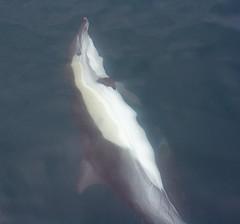 animal, marine mammal, common bottlenose dolphin, short-beaked common dolphin, dolphin, spinner dolphin, stenella, tucuxi,