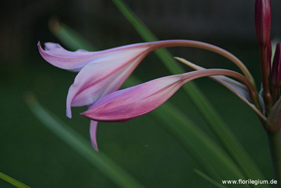 seitliche Blütenansicht der Hakenlilie (Crinum x powellii)