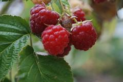 tayberry, berry, plant, wine raspberry, frutti di bosco, loganberry, fruit, raspberry, boysenberry, mulberry,