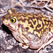 Couch's Spadefoot - Photo (c) tom spinker, some rights reserved (CC BY-NC-ND)