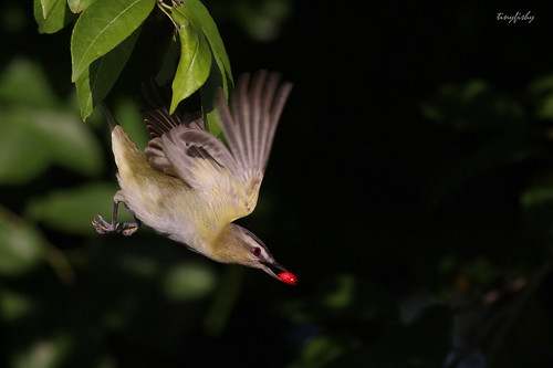(#230) Red Eyed Vireo