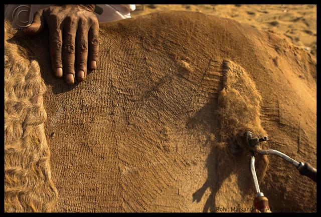 Tosquia de camelo