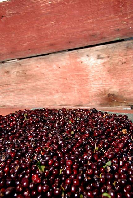Cherry Harve... Harvest