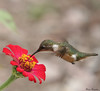 Estrelinha-ametista, beija-flor-mosca, besourinho-ametista, besouro-zumbidor Tesourinha (Calliphlox amethystina) - Picaflor amatista - Amethyst Woodstar - 24-12-2008 - IMG_20081224_9999_577