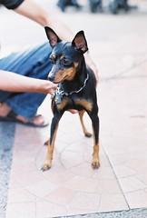 dog breed(1.0), animal(1.0), praå¾skã½ krysaå™ãk(1.0), dog(1.0), german pinscher(1.0), manchester terrier(1.0), pet(1.0), mammal(1.0), russkiy toy(1.0), miniature pinscher(1.0), pinscher(1.0), toy manchester terrier(1.0), english toy terrier(1.0),