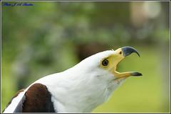 Aguila vocinglera (Haliaetus vocifer)
