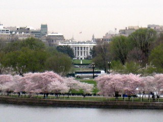 White House & Cherry Blossoms
