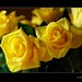 yellow roses (allways is the flower times)