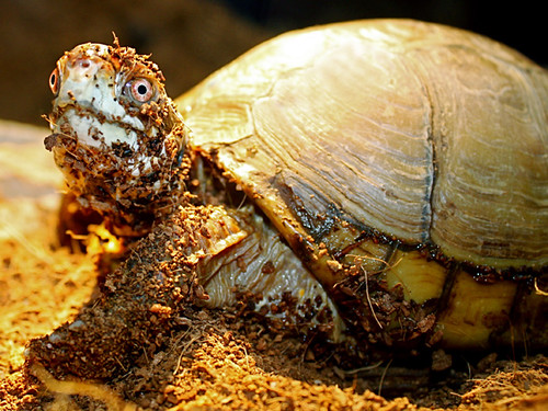 Three Toed Box Turtle Flickr Photo Sharing